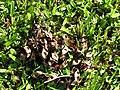 Starr-091104-8797-Adenanthera pavonina-seedpods-Kahanu Gardens NTBG Kaeleku Hana-Maui (24894780921).jpg