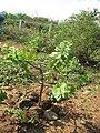 Starr-101224-5658-Melanthera integrifolia-planted with iliahi aloe-Kanaha Beach-Maui (24690811689).jpg