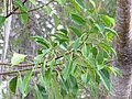 Starr-110307-2128-Ficus elastica-leaves-Kula Botanical Garden-Maui (24984330801).jpg