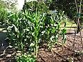Starr-110731-8143-Zea mays-habit cv JB White habit-Hawea Pl Olinda-Maui (24475443843).jpg