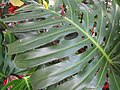 Starr-120522-6119-Monstera deliciosa-leaves-Iao Tropical Gardens of Maui-Maui (25049906541).jpg