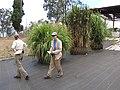 Starr-120608-7245-Cenchrus purpureus-Banagrass trial planting with Diana and Kim-Ulupalakua Ranch-Maui (25051829771).jpg