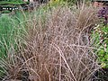 Starr-120613-9609-Carex buchananii-potted plants-Home Depot Nursery Kahului-Maui (25027206262).jpg