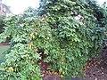 Starr-121108-0860-Averrhoa carambola-fruiting habit-Pali o Waipio-Maui (25196552665).jpg