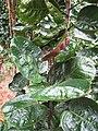 Starr-130316-2549-Polyscias scutellaria-habit-Huelo-Maui (25114335771).jpg