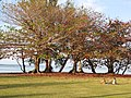 Starr-130320-3520-Terminalia catappa-habit with folks hanging at park-Anini Beach-Kauai (24582481603).jpg