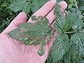 Starr-140603-0633-Rubus niveus-leaves with chewing-Waipoli Rd-Maui (25149765281).jpg