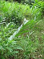 Starr-141027-5143-Hedychium coronarium-flowering habit-Nahiku-Maui (24617535314).jpg