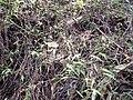 Starr-141229-3238-Oplismenus hirtellus-flowers-Hoku Nui Piiholo-Maui (25157095111).jpg