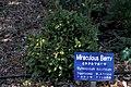 Starr-980529-4175-Synsepalum dulcificum-habit-Enchanting Floral Gardens of Kula-Maui (24405656692).jpg