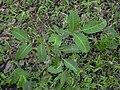 Starr 031108-2149 Cupaniopsis anacardioides.jpg