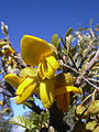 Starr 040214-0078 Sophora chrysophylla.jpg