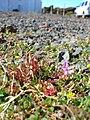 Starr 051202-5585 Erodium cicutarium.jpg