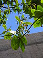 Starr 060922-9073 Fagraea berteroana.jpg