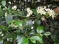 Starr 061105-9602 Psydrax odorata.jpg