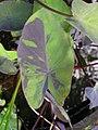 Starr 061108-9792 Colocasia esculenta.jpg
