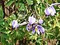 Starr 070228-4910 Solanum seaforthianum.jpg