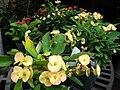 Starr 070906-8723 Euphorbia milii.jpg