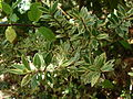 Starr 071024-0423 Myrtus communis.jpg
