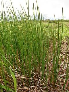 <i>Eleocharis</i> Genus of grasses