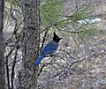 Stellers Jay bird (4166143695).jpg