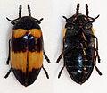Sternocera hunteri (16428200901).jpg