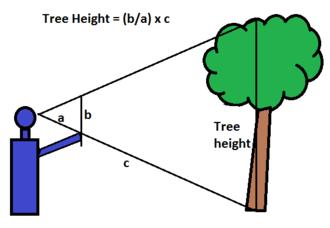 Tree measurement - Stick measurement method