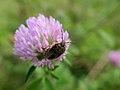 Stinkbug Shield Bug カメムシ亜目 On Red Clover アカツメクサ 赤詰草 (221800573).jpeg