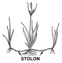Stolon (PSF).png