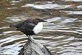 Strömstare White-throated Dipper (22777210184).jpg