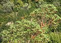 Strawberry tree with ripe fruits - panoramio.jpg