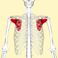 Subscapularis muscle frontal.png
