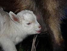 220px-Suckling_goat.jpg