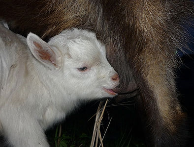 Goatling sucks mother's udder.
