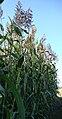 Sudangras,Sudan grass,-Sorghum bicolor (L.) Moench nothosubsp. drummondii (Steud.) de Wet ex Davidse-.jpg
