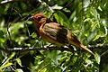 Summer Tanager (1st year male) Sabine Woods High Island TX 2018-04-26 11-36-07 (27221361147).jpg