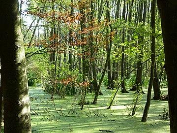 Sumpflandschaft NSG Thurbruch Usedom.jpg