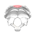 Superior angle of the occipital bone11.png