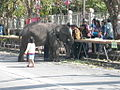 Surin elephants 26.jpg