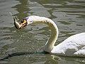 Swan (19013759893).jpg