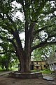 Swietenia mahagoni - Serampore College - Hooghly 2017-07-06 0894.JPG