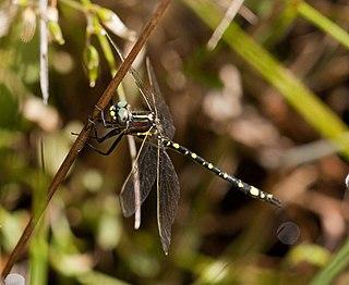 <i>Synthemis eustalacta</i> Species of dragonfly