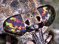 Tabanidae - Haematopota pluvialis-001.JPG