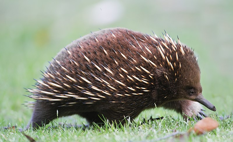 File:Tachyglossus aculeatus side on.jpg