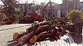 Taglio e rimozione di cedro del Libano caduto da Piazza Merlin, Rovigo.jpg