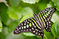 Tailed Jay (Graphium agamemnon) (18847442088).jpg