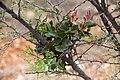 Tapinanthus oleifolius-1254 - Flickr - Ragnhild & Neil Crawford.jpg