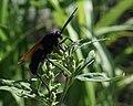 Tarantula hawk wasp (7804147952).jpg