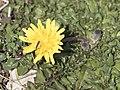 Taraxacum sp - Hindiba, Kartal Dağı 03.jpg