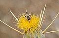 Tarsalia ancyliformis male 1.jpg